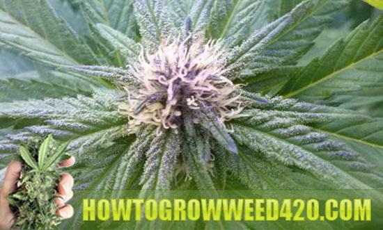 Flowering weed plants