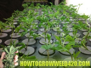Sprouting weed