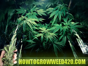 Cannabis clones you can be proud of