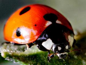 Ladybugs for weed