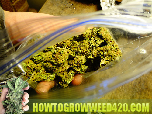 growing marijuana tutorials for beginners