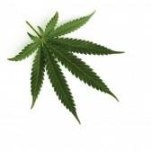 cannabis-leafd.jpg