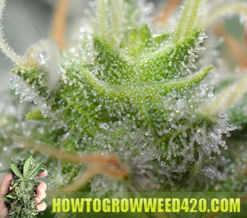 - Thinking about Growing Your Own Weed?
